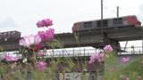 鉄橋の下、コスモス彩り 北広島の輪厚川河川敷