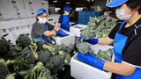 新鮮ブロッコリー全国に 作付面積全道一 音更で出荷本格化