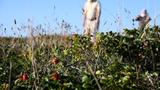はまなすの丘公園でハマナスの実見ごろ 草原を赤く染める