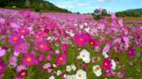 コスモス満開、咲く笑顔 遠軽「太陽の丘」平日限定で再開
