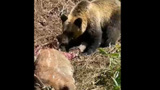 野生のシカを食べるヒグマを撮影 小樽市の男性 新ひだか町内の山林で
