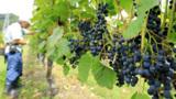期待のワイン品種「山幸」 房を厳選