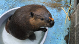 おびひろ動物園のビーバー「ナツ」 11月に甲府へ婿入り