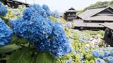 <花めぐり>旧青山別邸のアジサイ 小樽市