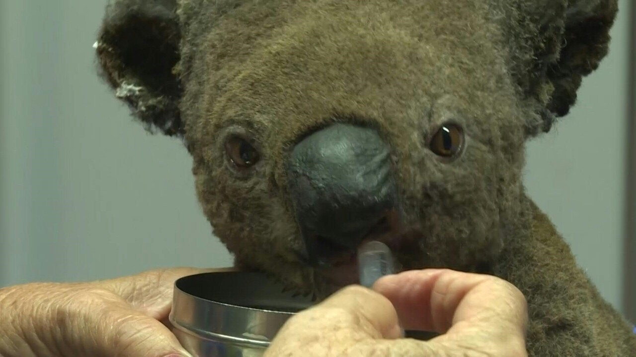 動画:豪森林火災、脱水症状のコアラ2頭救出 数百頭が犠牲の恐れ